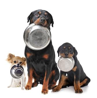 Портрет породистых ротвейлеров и чихуахуа и его миска для еды