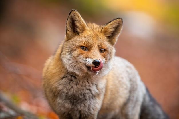 Портрет рыжей лисы, облизывающей пасть в лесу в осенней природе.