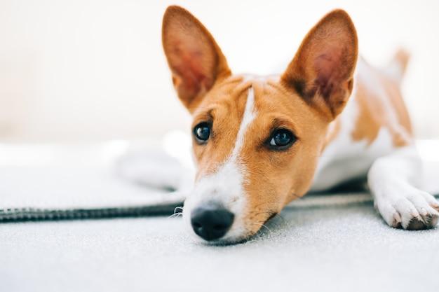 Портрет красно-белой собаки басенджи, лежащей на полу и смотрящей на камеру.