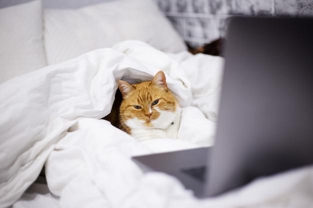 自宅の部屋でラップトップとベッドに横たわっている赤白猫の肖像画。