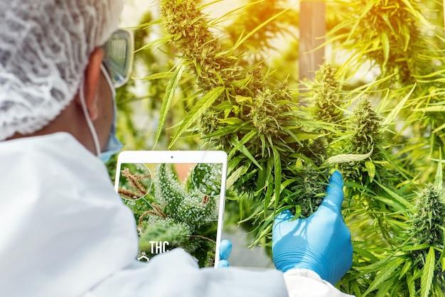 マスク、眼鏡、手袋を着用した科学者の肖像画。タブレットを使用して分析と結果を確認し、温室内の医療用マリファナ大麻の花を患者に提供します。