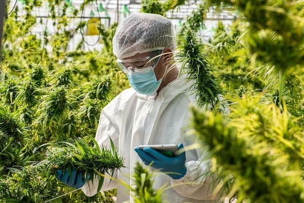 마스크, 안경, 장갑을 낀 과학자의 초상화. 온실에서 환자 의료용 마리화나 대마초 꽃에 대한 분석 및 결과를 태블릿으로 확인합니다.