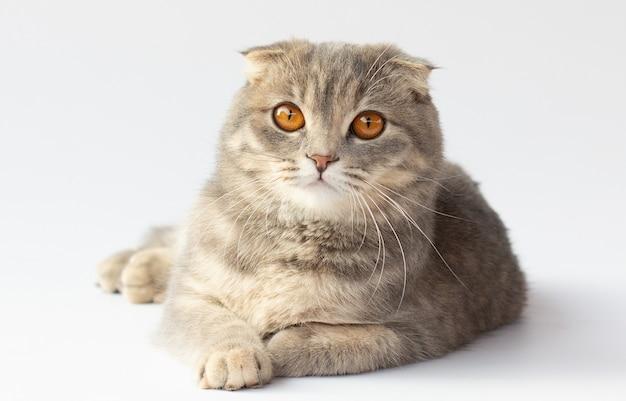 明るい灰色の背景に横たわっているスコティッシュフォールド猫の肖像画