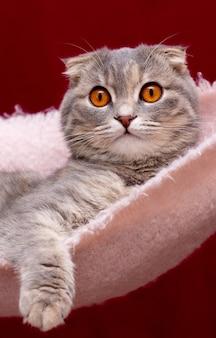 スコティッシュフォールド猫の肖像画