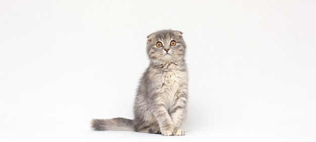 白い背景の上の9週齢の座っているスコティッシュフォールド子猫の肖像画