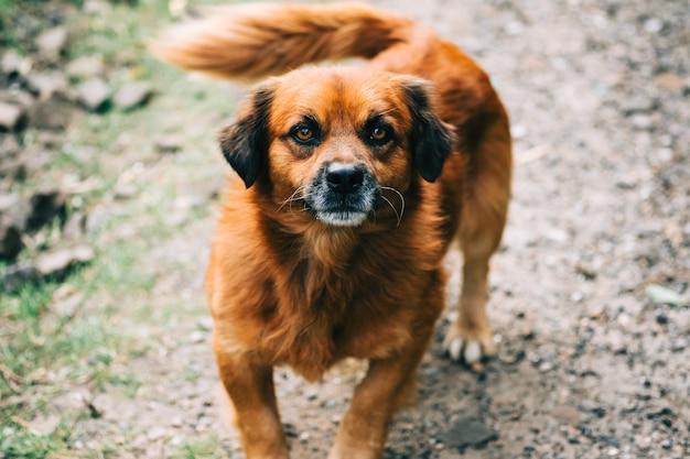 カメラを見ている深刻な野犬の肖像画。