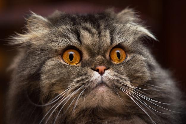 オレンジ色の目を持つ深刻な驚いた開いた目の灰色のイギリスまたはスコットランド猫の肖像画