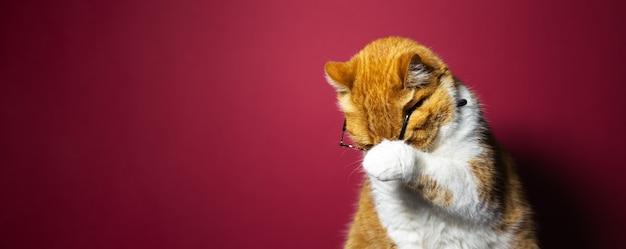短い髪のブリティッシュ赤白猫の肖像画