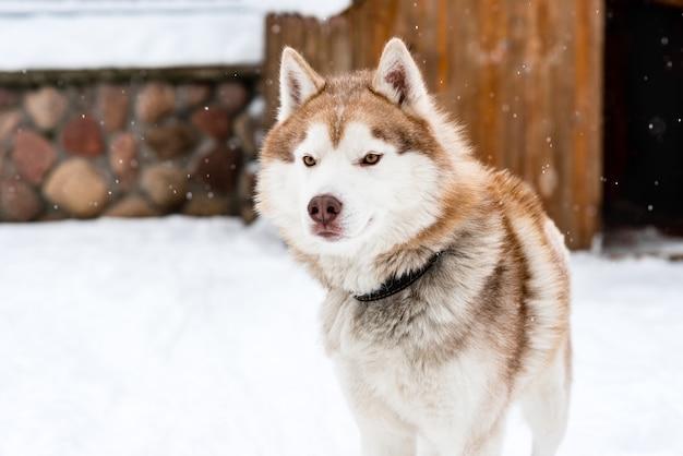 겨울 시간에 시베리안 허스키 강아지의 초상화입니다.