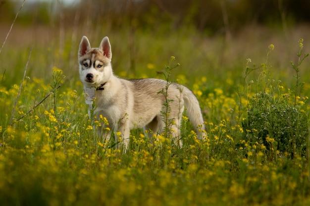 シベリアンハスキー犬の肖像画