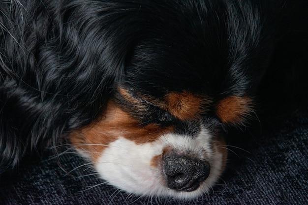 갑판에 누워 잠자는 사랑스러운 무심 한 킹 찰스 발 바리의 초상화