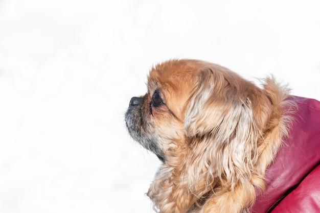 小さなペキニーズ犬の肖像画