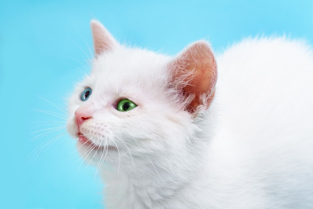 파란색 배경에 파란색과 녹색 눈을 가진 작은 흰 고양이의 초상화