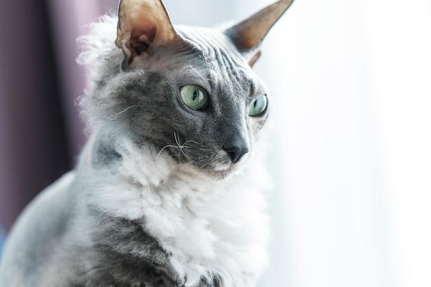 自宅でスマートドンスコイスフィンクス猫の肖像画