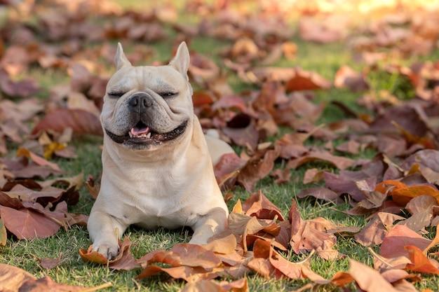 Портрет улыбающегося французского бульдога, лежащего на осенних листьях в парке.