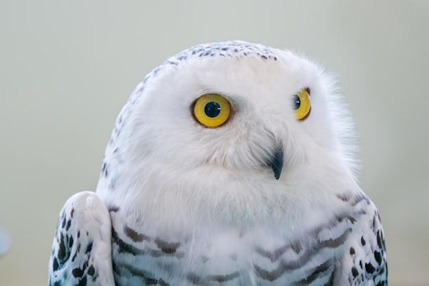 Портрет снежной совы, стоя на плече
