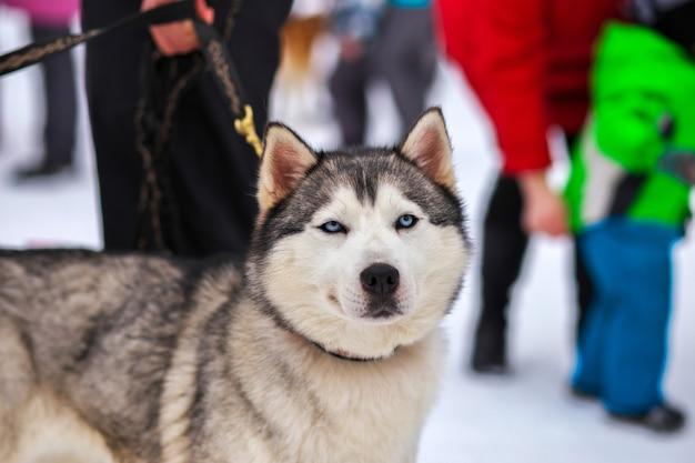 Портрет спортивной ездовой хаски. рабочие гончарные собаки севера.