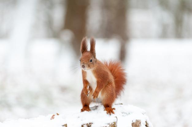 다람쥐의 초상화는 흰 눈의 배경에 가까이