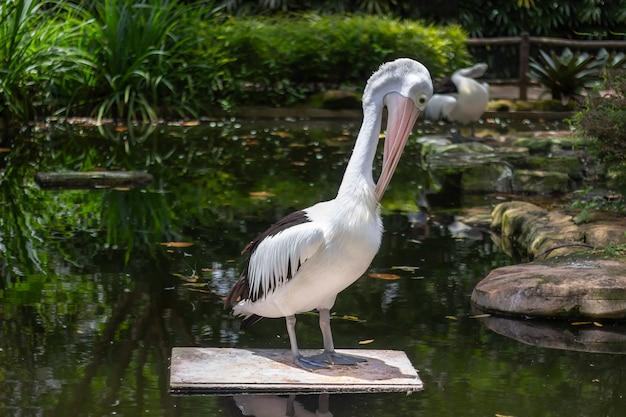 Портрет стоящего белого пеликана