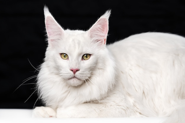 Портрет сладкой американской лесной кошки, лежащей и смотрящей в камеру на черно-белом фоне