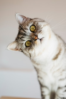 Портрет полосатого кота дома, сидя на белом фоне