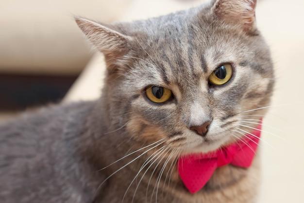 カメラを見ているピンクの弓を持つぶち灰色の飼い猫の肖像画。