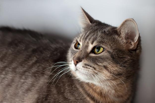줄무늬 회색 고양이의 초상화