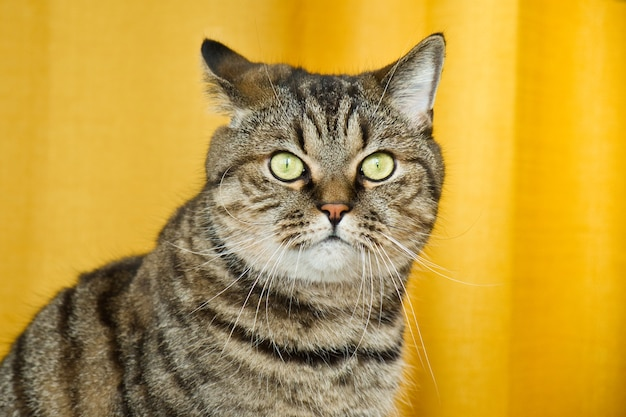 黄色の背景にぶち灰色の猫の肖像かわいい面白い好奇心旺盛なペット飼い猫の銃口