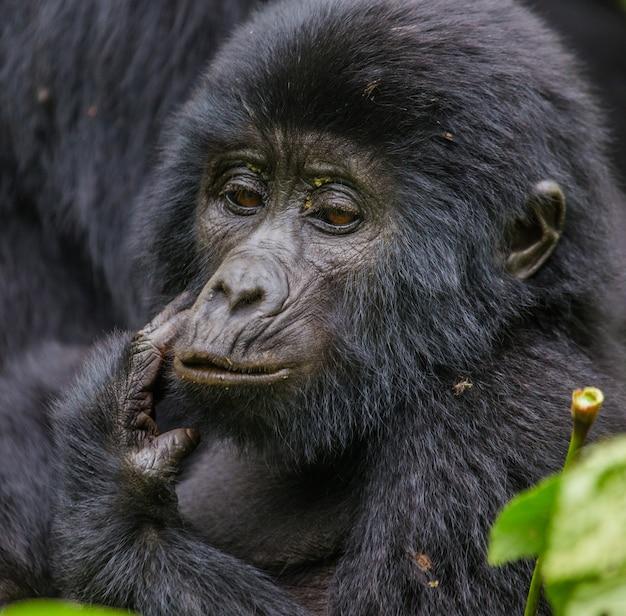 赤ちゃんのマウンテンゴリラの肖像画。ウガンダ。ブウィンディ原生国立公園。