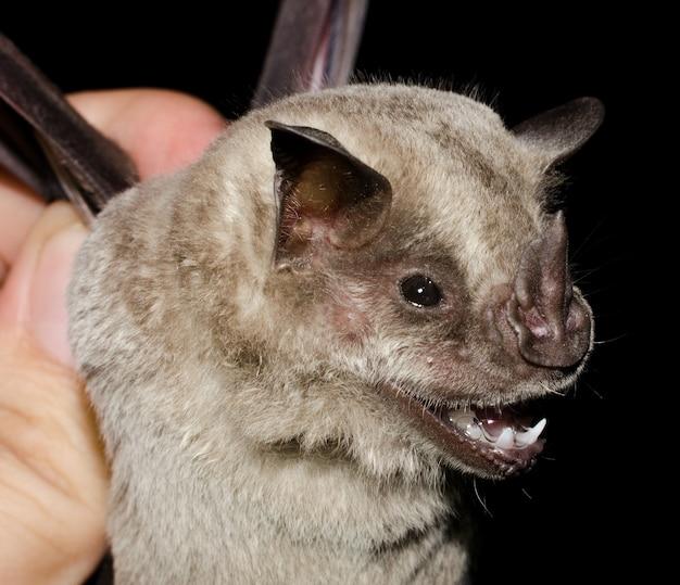 박쥐 드리 워진 과일을 먹는 박쥐 (artibeus fimbriatus)의 초상화.
