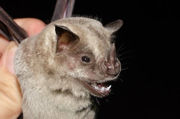 박쥐 드리 워진 과일 먹는 박쥐의 초상화