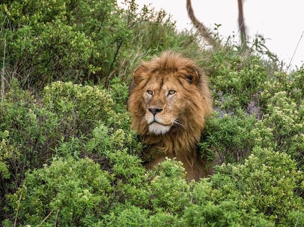 Портрет большого самца льва в траве.