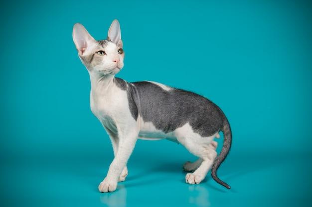 Портрет кошки донского сфинкса на цветной стене