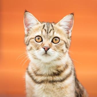 Портрет милой азиатской коричневой кошки