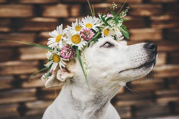 木造住宅の背景に夏のヒナギクの花輪で犬ジャックラッセルの肖像画