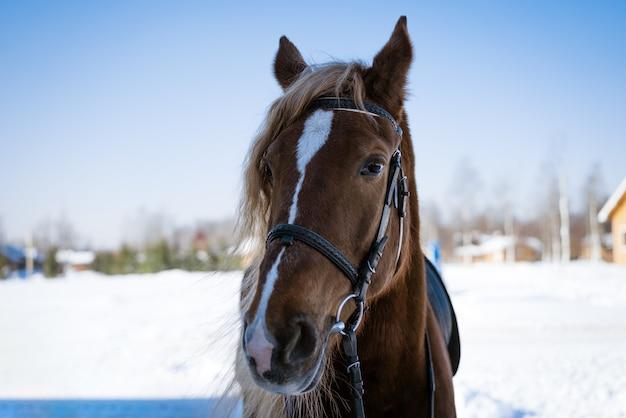 Портрет головы гнедой лошади в солнечный зимний день на фоне леса и бухты ...