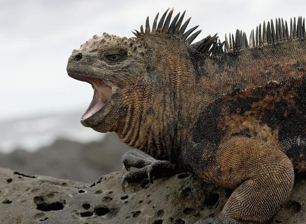自然界のウミイグアナの肖像画