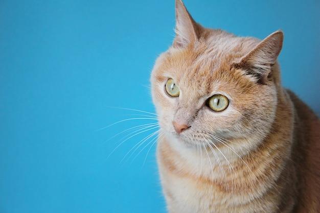 Портрет рыжего кота на синем фоне