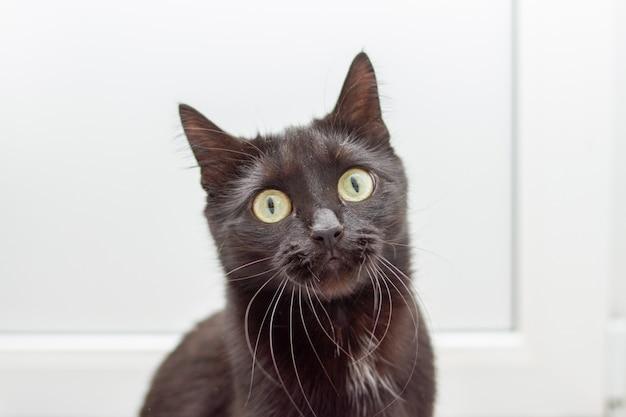 Портрет молодой удивлен черный кот с желтыми глазами на белом фоне, глядя на камеру