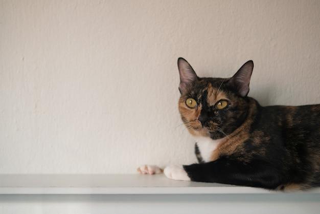 Портрет трехцветного кота лежит со скучным и любопытным лицом дома для концепции расслабления ленивого образа жизни с копией пространства