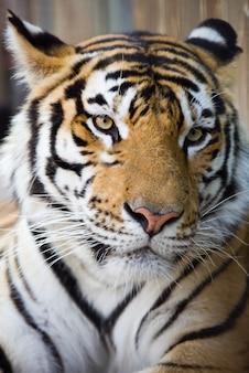 虎の肖像画をクローズアップ