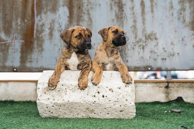 石に寄りかかって2匹の愛らしいスペインのアラノ子犬の肖像画