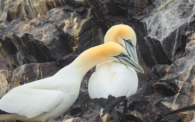 Портрет двух взрослых северных олуш, отдыхающих на острове басс-рок, шотландия, северное море