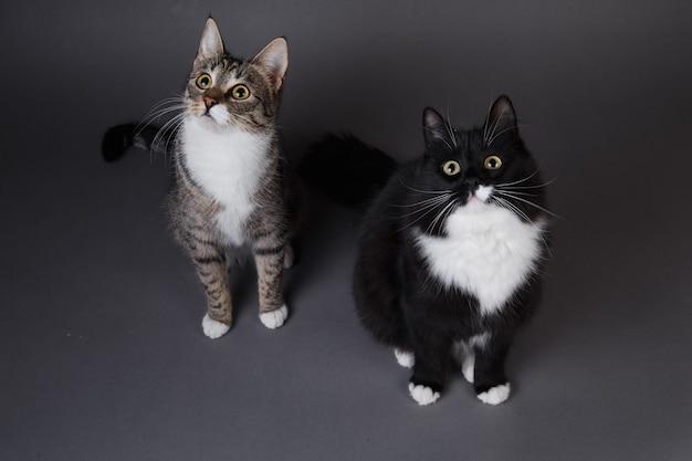 Портрет двух милых котят черного и серого полосатого кота на сером фоне в студии