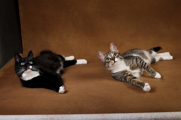2匹のかわいい子猫の肖像画黒い子猫と茶色の背景に横たわって灰色のストリップ