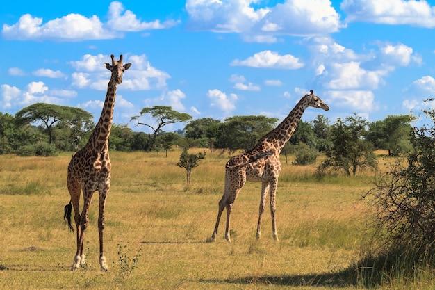 Портрет двух жирафов. серенгети, танзания