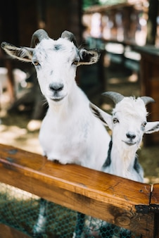 Portrait of two goats in the barn