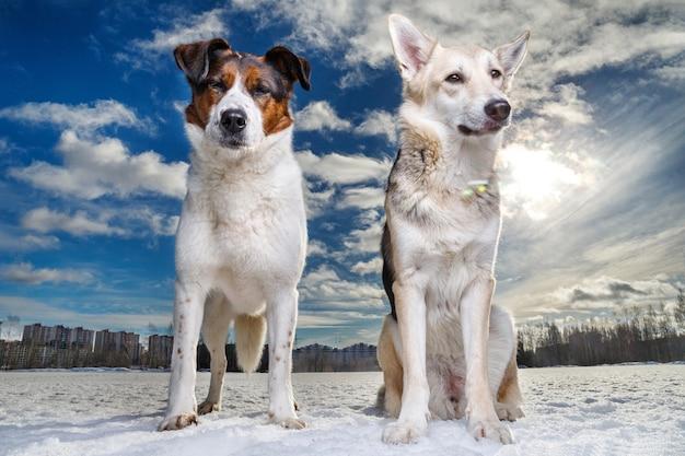 Портрет двух счастливых милых собак, сидящих и смотрящих в камеру на зимнем поле против солнца. солнечные блики, голубое небо и облака на заднем плане.