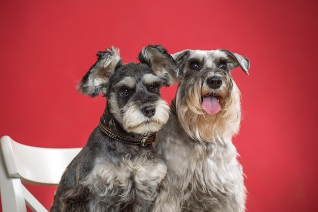 Портрет двух миниатюрных собак шнауцера в студии