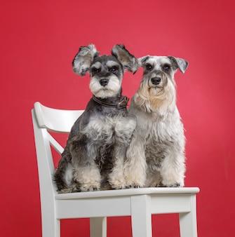 Портрет двух миниатюрных собак шнауцера на белом стуле в студии